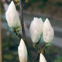 duft magnolien hecke fairy von baldur garten auf kaufen. Black Bedroom Furniture Sets. Home Design Ideas