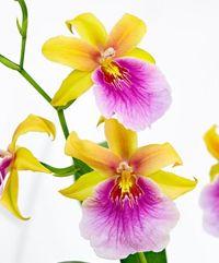 orchidee im topf mit blauen bl ten von floraprima auf. Black Bedroom Furniture Sets. Home Design Ideas