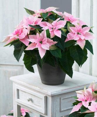 weihnachtsstern princettia 39 soft pink 39 von bakker auf. Black Bedroom Furniture Sets. Home Design Ideas