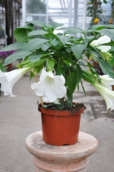 Weiße Engelstrompete von Der Palmenmann auf Blumen.de kaufen