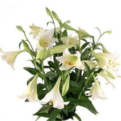 Blumenstrauß Lilien Weiß im Bund - Premium Longiflorum von Blumenfee ...