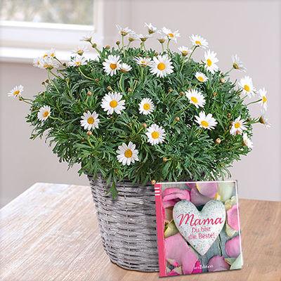 Weiße Margerite im Korbübertopf von Blume2000.de auf Blumen.de kaufen