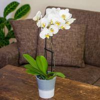 orchideen g nstig kaufen und verschicken auf. Black Bedroom Furniture Sets. Home Design Ideas