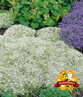 Weißer Polsterthymian von BALDUR-Garten auf Blumen.de kaufen