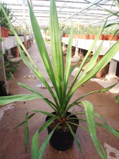 yucca faxoniana von der palmenmann auf kaufen. Black Bedroom Furniture Sets. Home Design Ideas