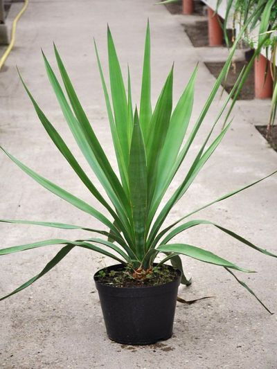 Yucca madrensis von Der Palmenmann auf Blumen.de kaufen
