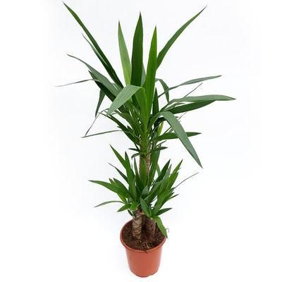 yucca palme von g rtner p tschke auf kaufen. Black Bedroom Furniture Sets. Home Design Ideas