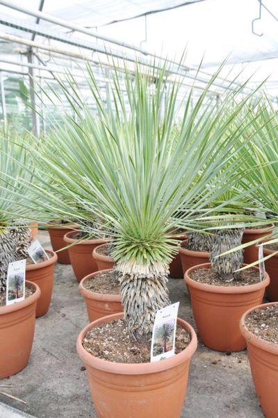 Yucca rostrata (bewurzelt) von Der Palmenmann auf Blumen.de kaufen