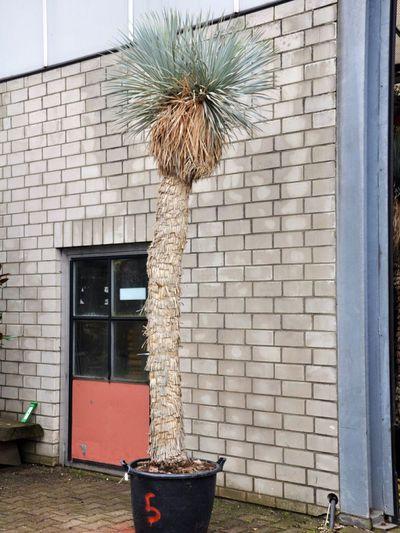 yucca rostrata zwei k pfe von der palmenmann auf blumen. Black Bedroom Furniture Sets. Home Design Ideas