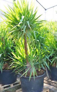 kerzen palmlilie yucca gloriosa doppelstamm von der. Black Bedroom Furniture Sets. Home Design Ideas