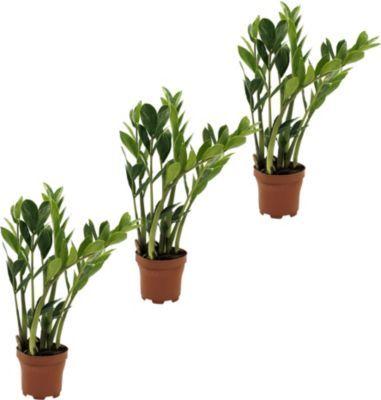 Zamioculcas (Glücksfeder), 3 Pflanzen von GartenXXL auf Blumen.de kaufen