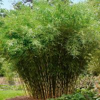 Bambus Günstig Kaufen Und Verschicken Auf Blumende