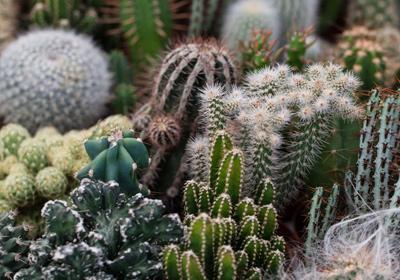 kaktus jetzt einfach und g nstig kaufen auf. Black Bedroom Furniture Sets. Home Design Ideas