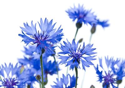 Blaue Blumen und blaue Pflanzen kaufen und verschicken auf Blumen.de