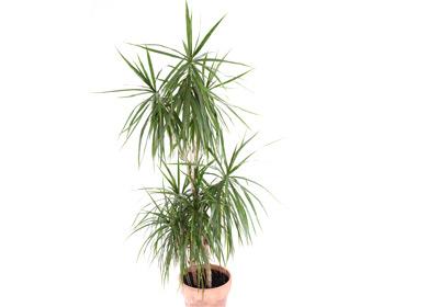 Drachenbaum jetzt einfach und g nstig kaufen auf - Zimmerpalme arten ...