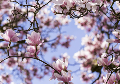 magnolie jetzt einfach und g nstig kaufen auf. Black Bedroom Furniture Sets. Home Design Ideas
