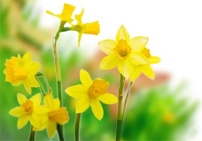 Narzissen Gnstig Kaufen Und Verschicken Auf Blumende