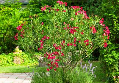 oleander jetzt einfach und g nstig kaufen auf. Black Bedroom Furniture Sets. Home Design Ideas