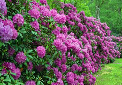 rhododendron jetzt einfach und g nstig kaufen auf. Black Bedroom Furniture Sets. Home Design Ideas