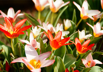 tulpen guenstig kaufen und verschicken auf blumende